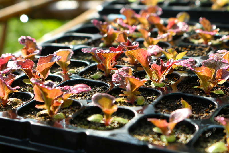 Red lettuce in seeding tray